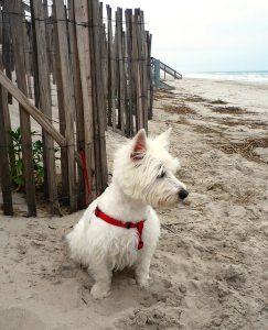dog on Corolla beach