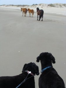 dogs and horses 4x4 beach