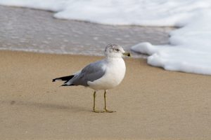 social distancing seagull