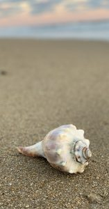 Whelk Shell
