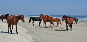 Wild Horses on the 4x4 beaches