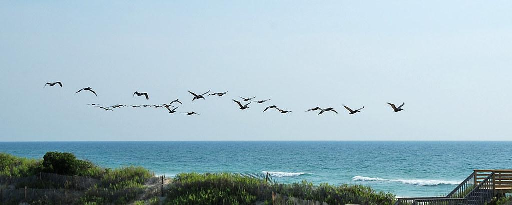 OBX pelicans